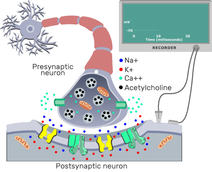 An image showing ACh from the presynaptic neuron molecules bind to the receptors on the postsynaptic neuron membrane
