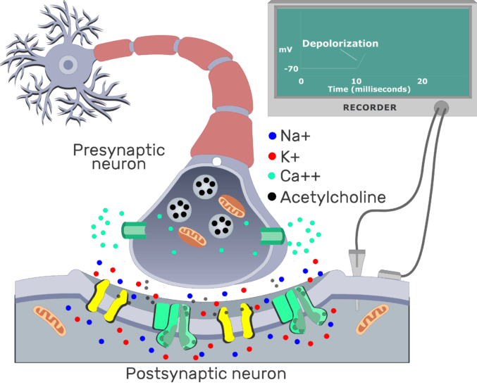 An image showing ACh broken down on the postsynaptic receptors by AChE enzyme