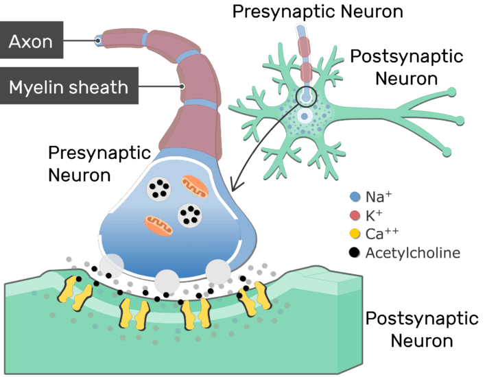 neurotransmitter release at cholinergic synapses