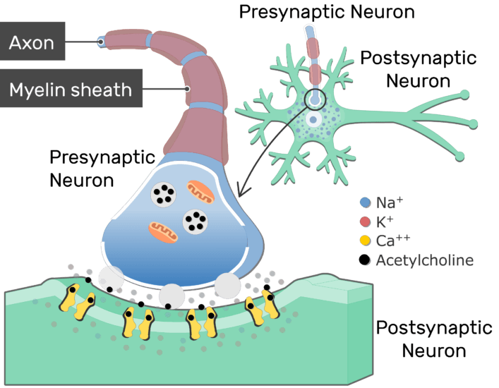 An image showing the vesicles fusion of the presynaptic neuron causing the releasing of the transmitter molecules (ACh)