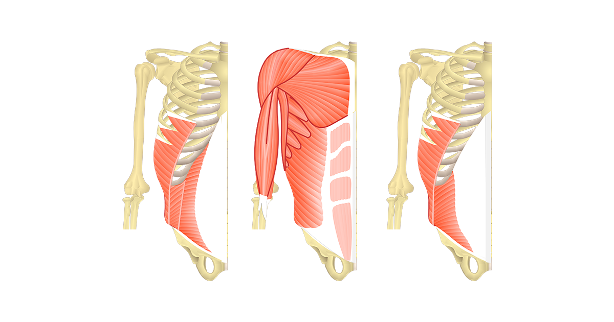 Muscles That Act On The Abdomen