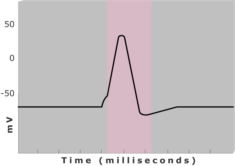 An image showing the Absolute refractory period (pink) using diagram of action potential measured (mv) through time