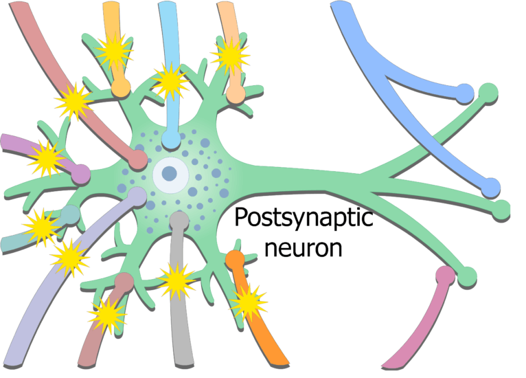An image showing the exciting potential coming from presynaptic neurons then stimulating postsynaptic neuron