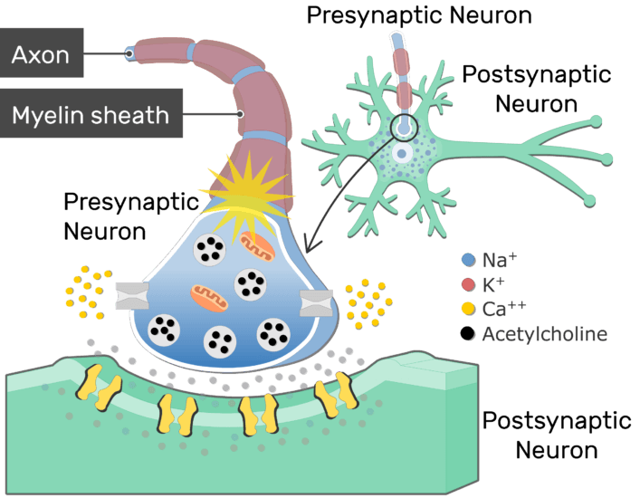 An image showing the action potential passing through the axon of the presynaptic neuron (which is myelinated)
