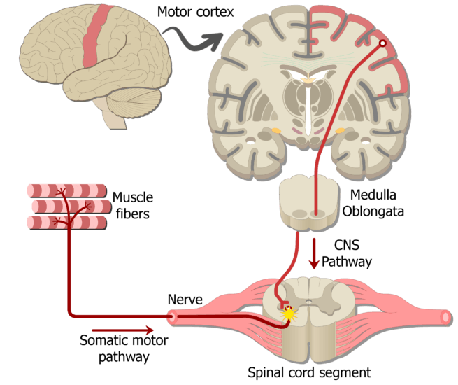 An image showing the action potential moving through the upper motor neuron (UMN) from the brain to the (LMN) in the spinal cord, this is part of the motor somatic nervous system