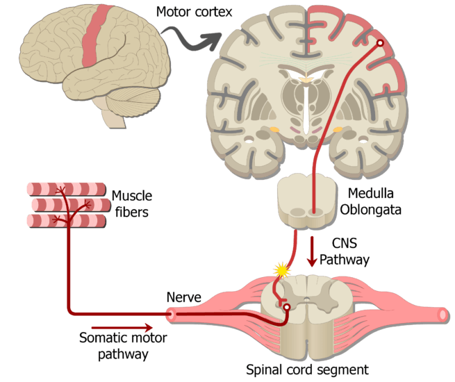 An image showing the action potential moving through the lower motor neuron (LMN) to reach the effective organ (muscle fibers), this is part of the motor somatic nervous system
