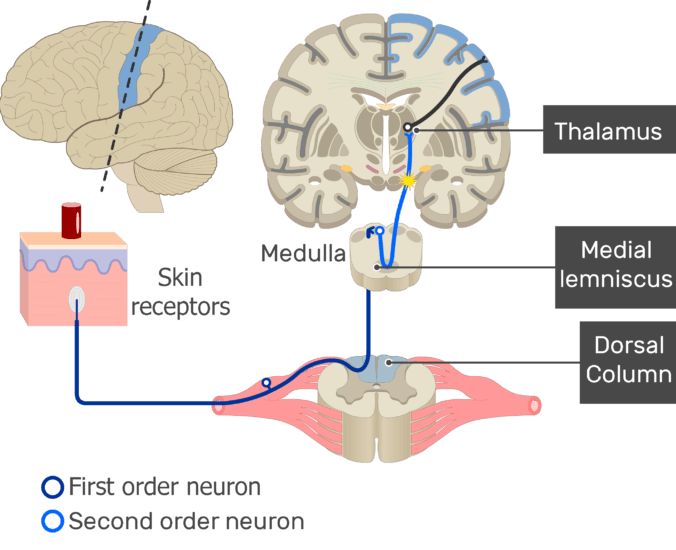 An image showing the action potential moving through the second sensory neuron, from the spinal cord to the thalamus passing through medial lemniscus of the medulla, part of the touch pathway