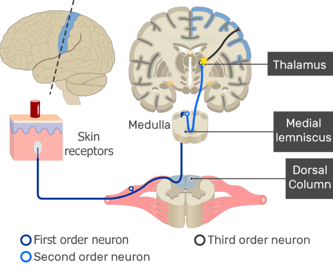 An image showing the action potential moving through the third sensory neuron, from the thalamus to the cerebral cortex, part of the touch pathway