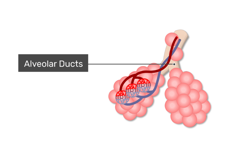 An alveolus labeled alevolus ducts
