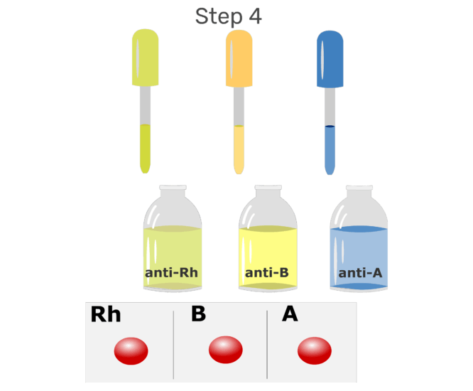 Animation of a drop anti-serum being added to each drop of blood on the glass slide.