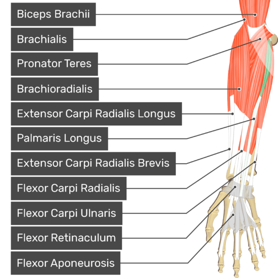 An anterior view of the forearm showing the bony elements and the associated muscles muscles. The visible, labelled muscles are as follows: Biceps Brachii, Brachialis, Pronator Teres, Brachioradialis, Extensor Carpi Radialis Longus, Palmaris Longus (highlighted in green), Extensor Carpi Radialis Brevis, Flexor Carpi Radialis, Flexor Carpi Ulnaris, Flexor Retinaculum and Flexor Aponeurosis.