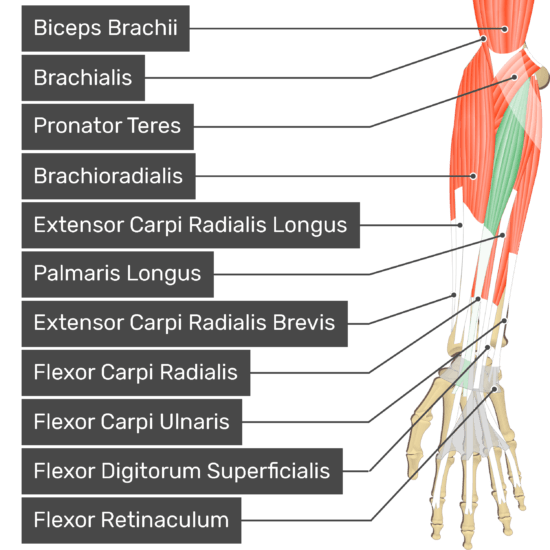 An anterior view of the forearm showing the bony elements and the associated muscles muscles. The visible, labelled muscles are as follows: Biceps Brachii, Brachialis, Pronator Teres, Brachioradialis, Extensor Carpi Radialis Longus, Palmaris Longus, Extensor Carpi Radialis Brevis, Flexor Carpi Radialis (highlighted in green), Flexor Carpi Ulnaris, Flexor Digitorum Superficialis and a transverse carpal ligament at the wrist - Flexor Retinaculum - going over the tendons of most forearm muscles.