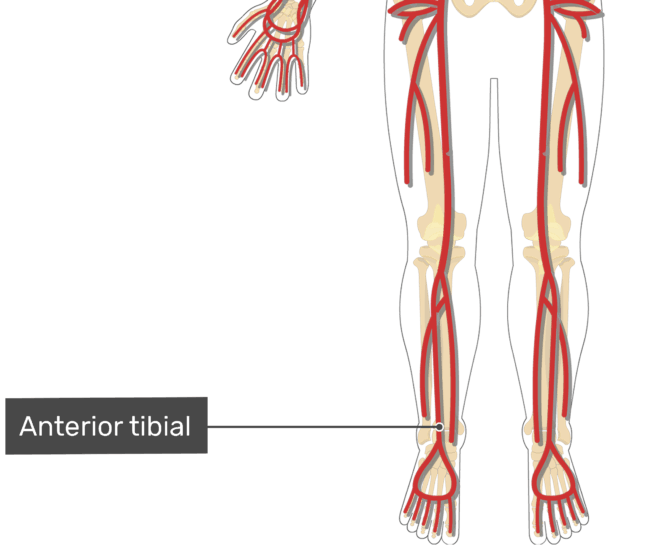 Labelled image of the tibial artery of the leg.