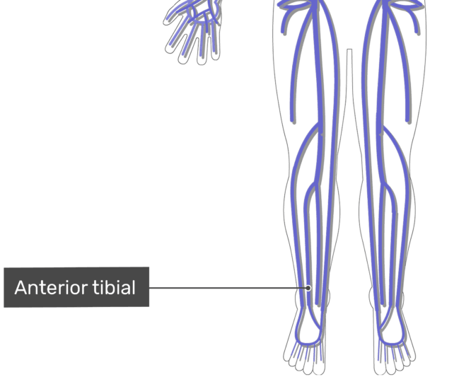 Anterior tibial veins with the skeleton off.