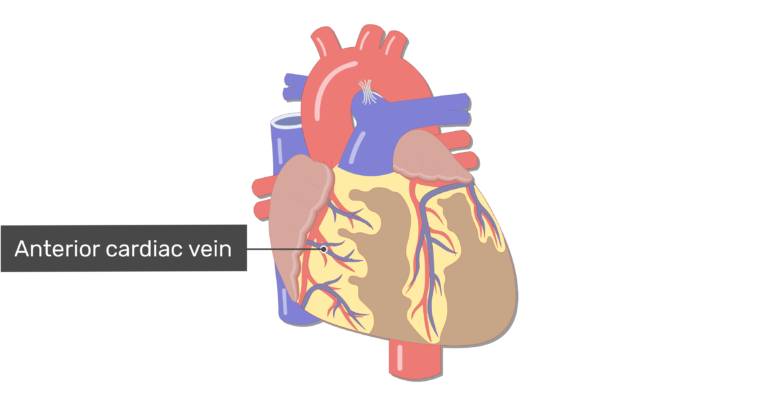 Anterior view of the anterior cardac veins of the heart