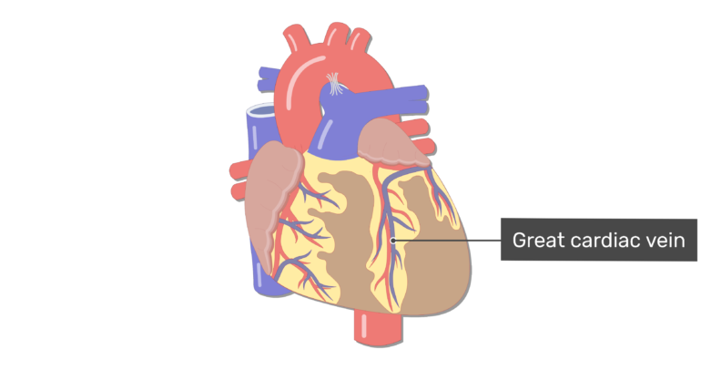 Anterior view of the great cardiac vein of the heart.