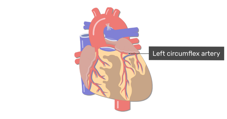 Anterior view of the left circumflex artery of the heart