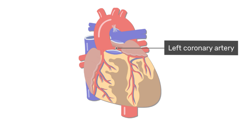 Anterior view of the left coronary artery of the heart