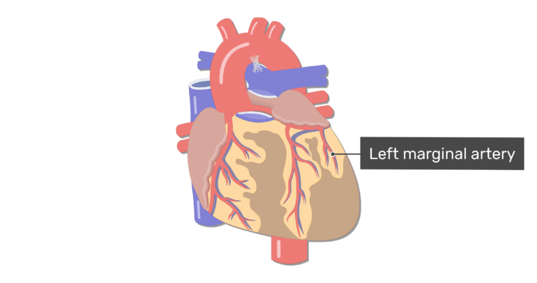 Anterior view of the left marginal artery of the heart