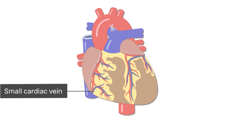 Anterior view of the small cardiac vein of the heart.