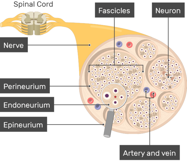 An image showing the nerve basic anatomical structures of the Artery and vein, Epineurium, Endoneurium, Perineurium, Fascicles, nerve, the Neuron and nerve are labeled