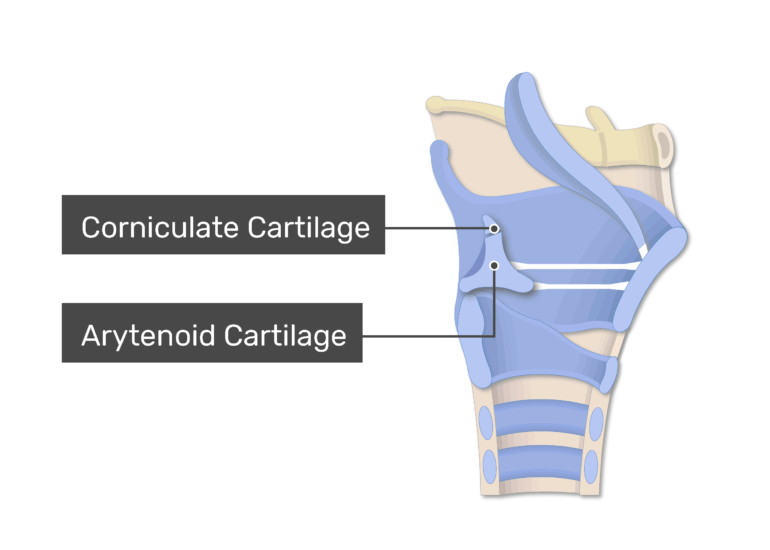 The Arytenoid and Corniculate Ligaments on sagittal view