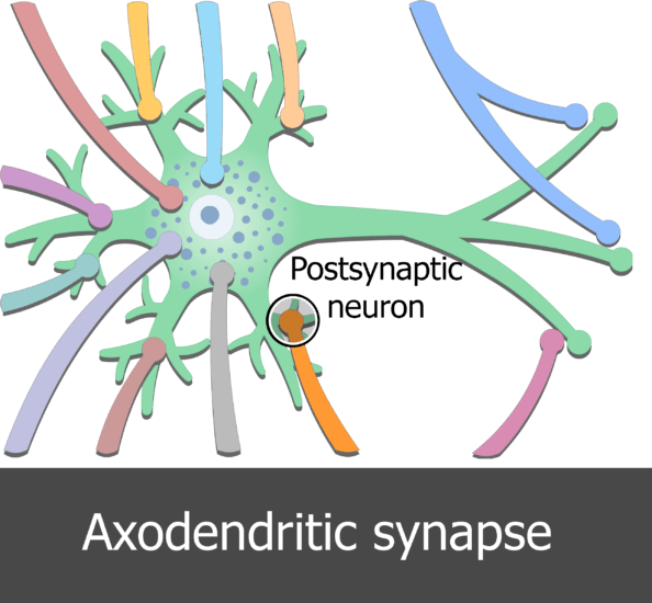 An image showing few dendrites of presynaptic neurons connected to the postsynaptic neuron in different types of synaptic contacts, the Axodendritic synapse is surrounded by circle