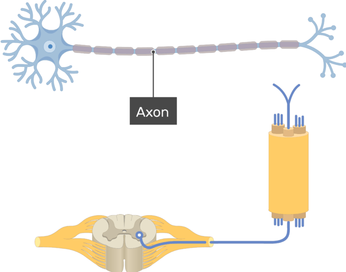 Am image showing the basic structure of the multipolar neuron, the axon is labeled