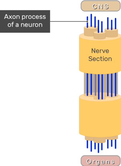 An image showing a nerve section which connects between the CNS and organs, the axon process of a neuron is labeled