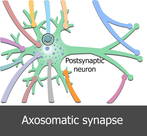 An image showing few dendrites of presynaptic neurons connected to the postsynaptic neuron in different types of synaptic contacts, the Axosomatic synapse is surrounded by circle