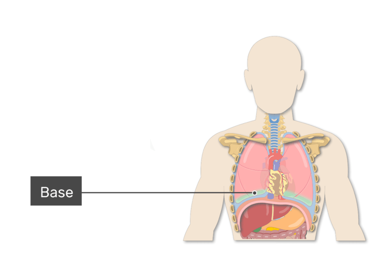 Base labeled on anterior view of body demonstrating lungs anatomy and the surrounding structures