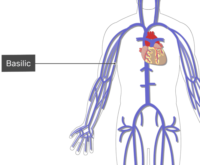 Labelled image of the basilic vein with the skeleton off.