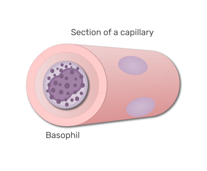 A basophil in a section of capillary animation slide 7