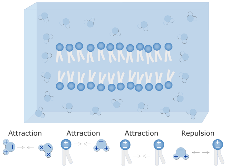 An image showing bilayer phospholipids formation (hydrophilic heads and hydrophobic tails)
