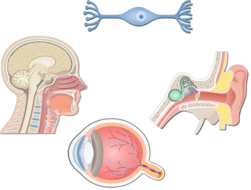 Bipolar Neurons - Featured