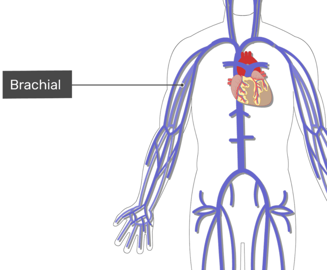 Labelled image of the brachial vein with the skeleton off.