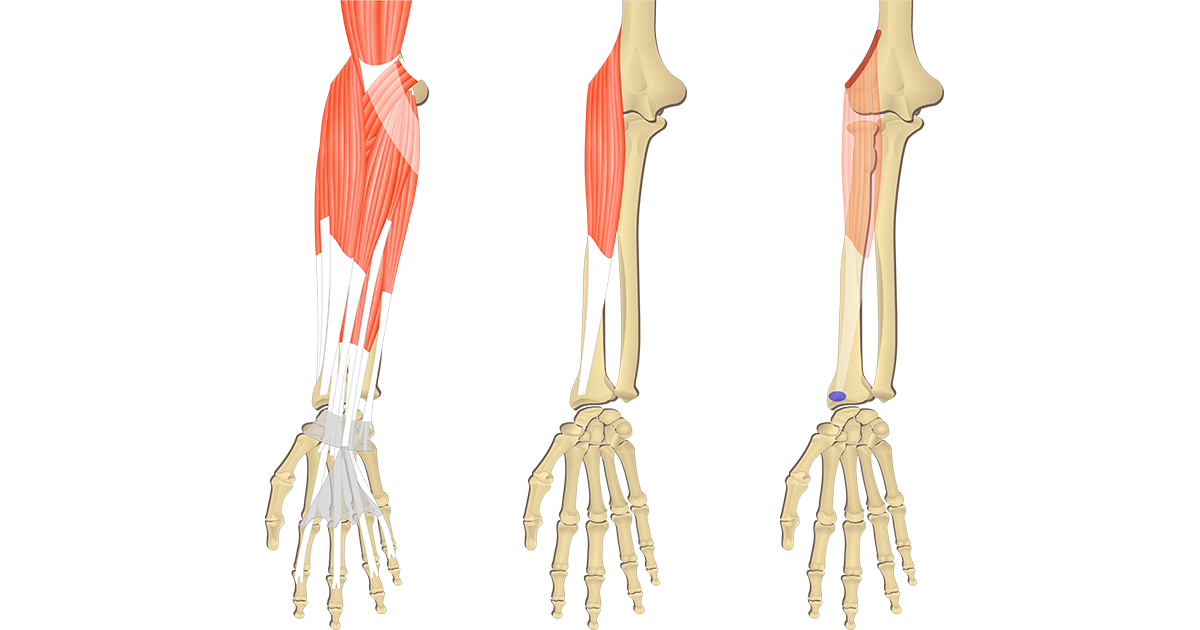 Brachioradialis Muscle - Attachments, Action & Innervation