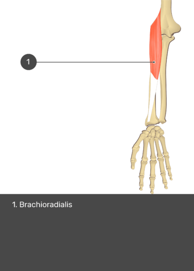 A test yourself image of the anterior view of the forearm showing the bony elements and the isolated Brachioradialis muscle numbered 1.