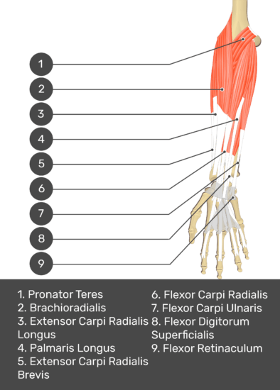 A test yourself image of the anterior view of the forearm showing the bony elements and the deeper muscles. The visible structures of the forearm are numbered 1-9. The answers in the box below are as follows 1. Pronator Teres 2. Brachioradialis 3. Extensor Carpi Radialis Longus 4. Palmaris Longus 5. Extensor Carpi Radialis Brevis 6. Flexor Carpi Radialis 7. Flexor Carpi Ulnaris 8. Flexor Digitorum Superficialis 9. Flexor Retinaculum.