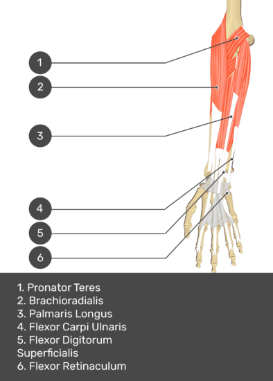 A test yourself image of the anterior view of the forearm showing the bony elements and the deeper muscles. The visible structures of the forearm are numbered 1-6. The answers in the box below are as follows 1. Pronator Teres 2. Brachioradialis 3. Palmaris Longus 4. Flexor Carpi Ulnaris 5. Flexor Digitorum Superficialis 6. Flexor Retinaculum.