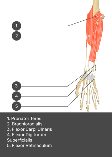 A test yourself image of the anterior view of the forearm showing the bony elements and the deeper muscles. The visible structures of the forearm are numbered 1-5. The answers in the box below are as follows 1. Pronator Teres 2. Brachioradialis 3. Flexor Carpi Ulnaris 4. Flexor Digitorum Superficialis 5. Flexor Retinaculum.