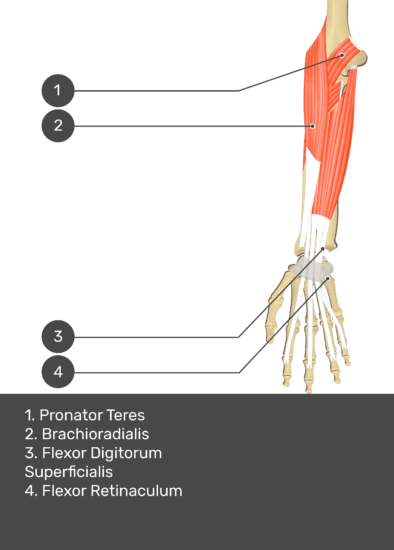 A test yourself image of the anterior view of the forearm showing the bony elements and the deeper muscles. The visible structures of the forearm are numbered 1-4. The answers in the box below are as follows 1. Pronator Teres 2. Brachioradialis 3. Flexor Digitorum Superficialis 4. Flexor Retinaculum.