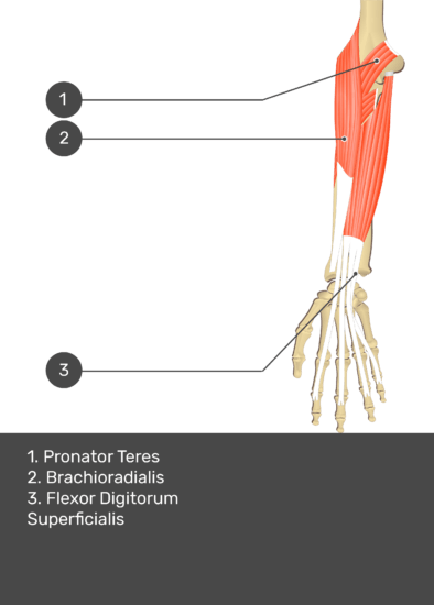 A test yourself image of the anterior view of the forearm showing the bony elements and the deeper muscles. The visible structures of the forearm are numbered 1-3. The answers in the box below are as follows 1. Pronator Teres 2. Brachioradialis 3. Flexor Digitorum Superficialis.