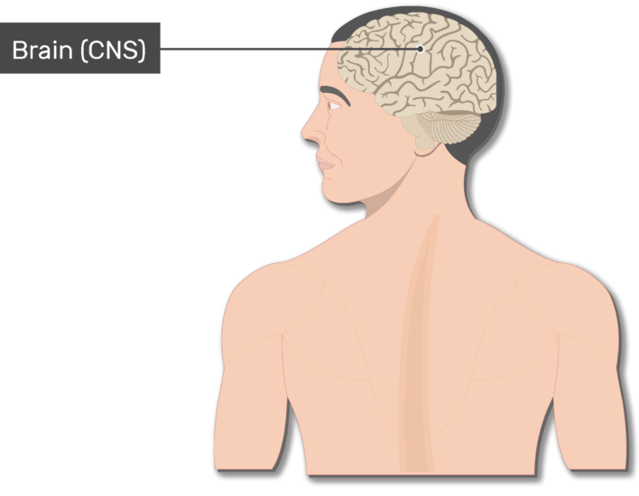 An image of the body showing the Brain, head and the back of a smiley man, the brain is labeled