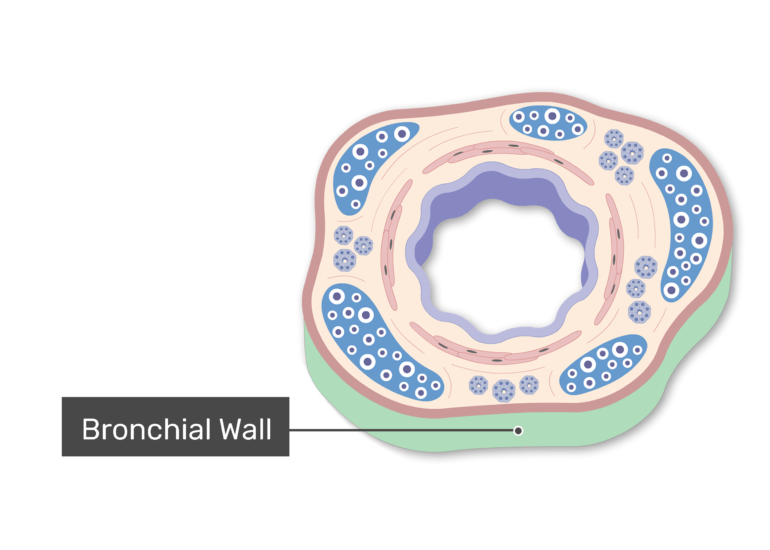 The Bronchiole Wall