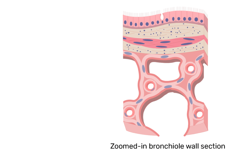 A zoomed in bronchiole wall section