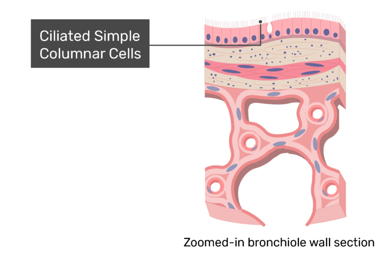 Ciliated simple columnar cells labeled on a zoomed-in image of bronchiole wall