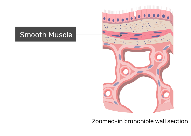 Smooth muscle labeled on a zoomed-in image of bronchiole wall