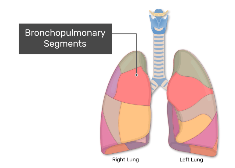 Bronchopulmonary Segments labeled on anterior view of the lungs
