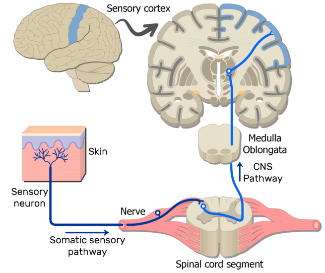 An image showing the sensory pathway of the somatic nervous system which consists of 3 neurons, first, second and third sensory neurons